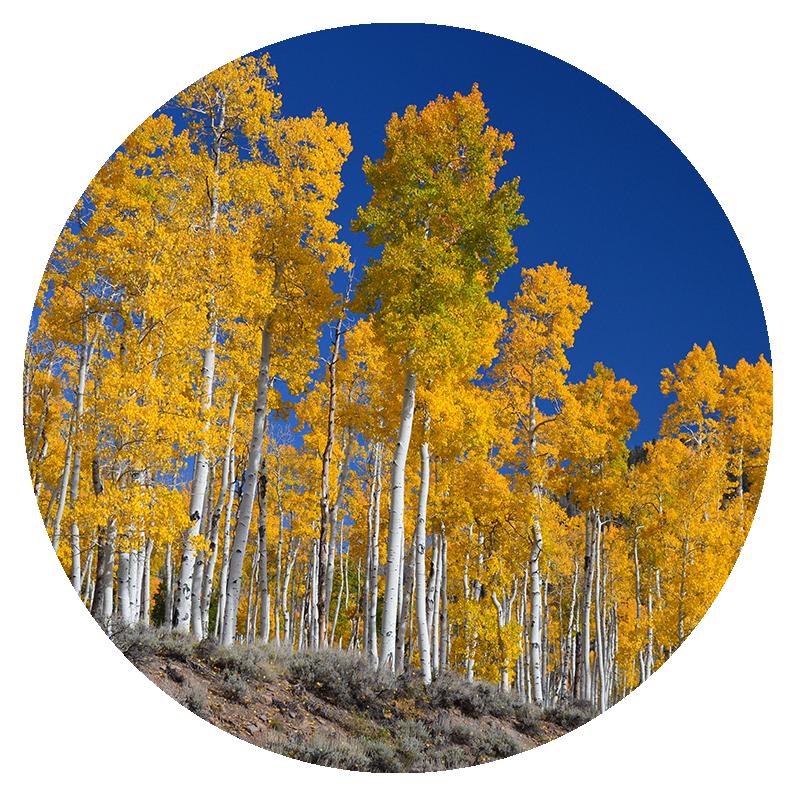 Pando aspen grove at Fishlake National Forest, by J. Zapell [Public domain], via Wikimedia Commons